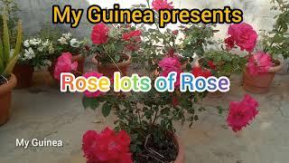 My Guinea