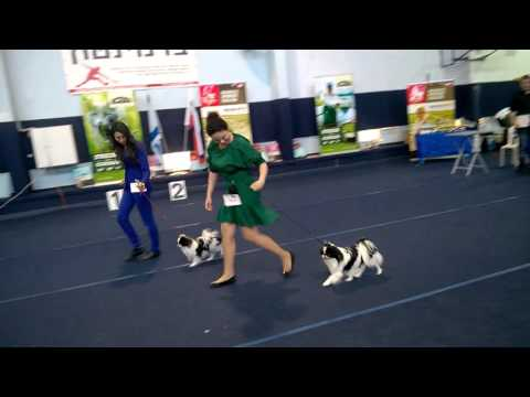 05/03/2016  Dog Show in Israel (rank CAC) - japanese chin.
