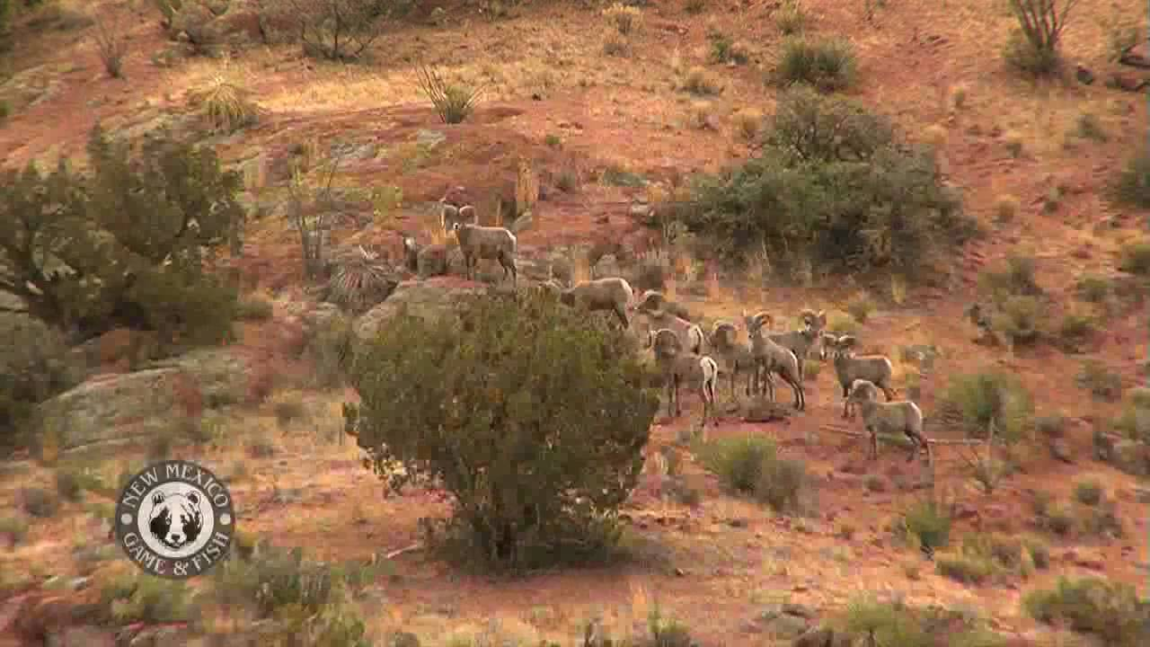 Annual desert bighorn sheep census youtube for New mexico game and fish login