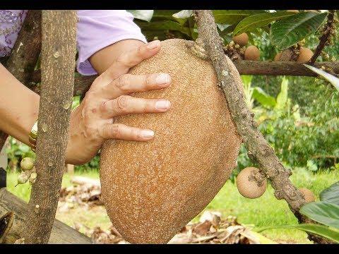 Sapodilla Fruit - mamey pouteria sapota