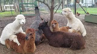 Tantra alpaca sex orgy proving animals are gay (lesbian)! Read description about Tantra! I love you