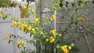 Керия японская, секреты ухода и красивого цветения!