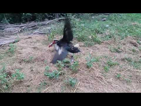OMG!!!Amazing Bird matting In My Village-Real Bird 2018
