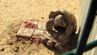 Черепахи занимаются сексом, а попугай их подзадоривает