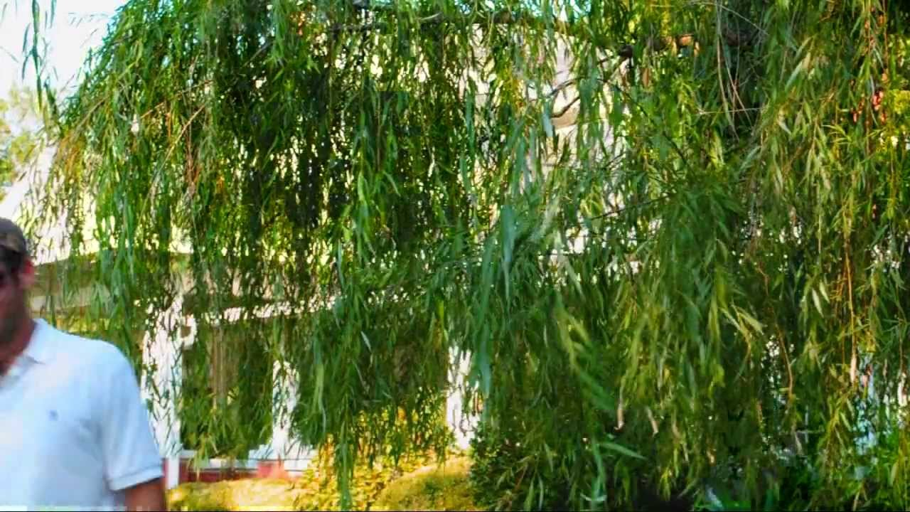 *Fast Growing Weeping Willow Tree* +ON SALE NOW+2017 ...