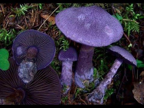 Чудо грибы в лесу. Паутинник фиолетовый из Красной книги.
