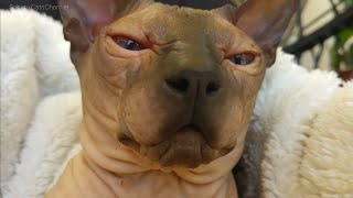 ADORABLE & BEAUTIFUL Sphynx Cat CHALISA Close UpDon SPHYNX