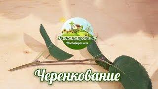 Зеленое черенкование декоративных растений.