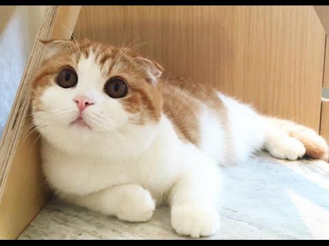 super cute & funny cat videos 2016 😽😽 nana the Scottish fold