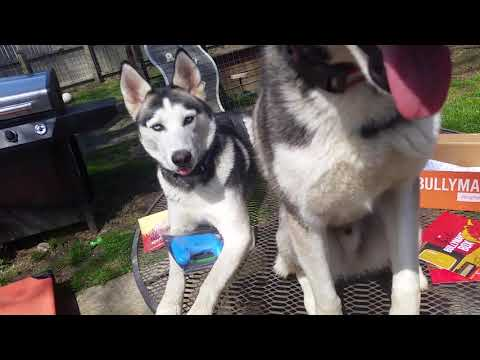 Silly Huskies Open April Bullymake Box