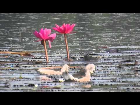 Nikon Coolpix P900 - Bird swimming in Pond -Videoshoot 02