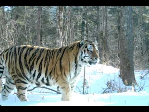 Russian Siberian Tiger - the Biggest and Strongest Cat in the world. Weight up to 500kg!