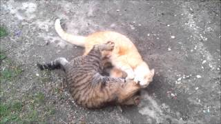 Two cats-brothers playing