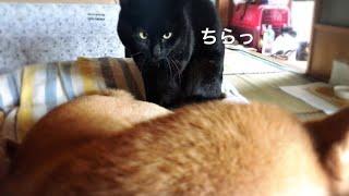 大好きなワンコにくっついて充電するニャンコ cat wants to cuddle up the dog and sleep thumbnail