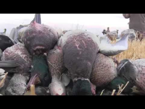 48 Bird Limit In 1 Hour! Manitoba Mallard Field Hunt
