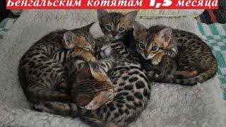 Бенгальским котятам 1,5 месяца. Первый прикорм.