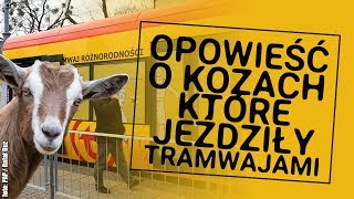 Opowieść o tym jak kozy jeździły tramwajami i wyjadały bułki...