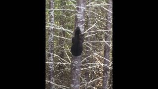 как Быстро Медведь Может Залезть на Дерево?