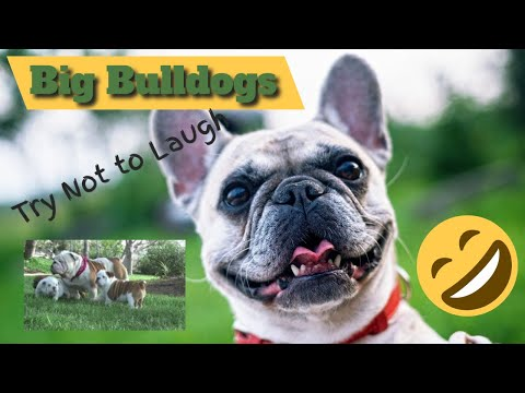 Big Bulldogs - Try not to laugh so Cute