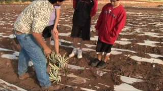How to Grow A Pineapple for Kids