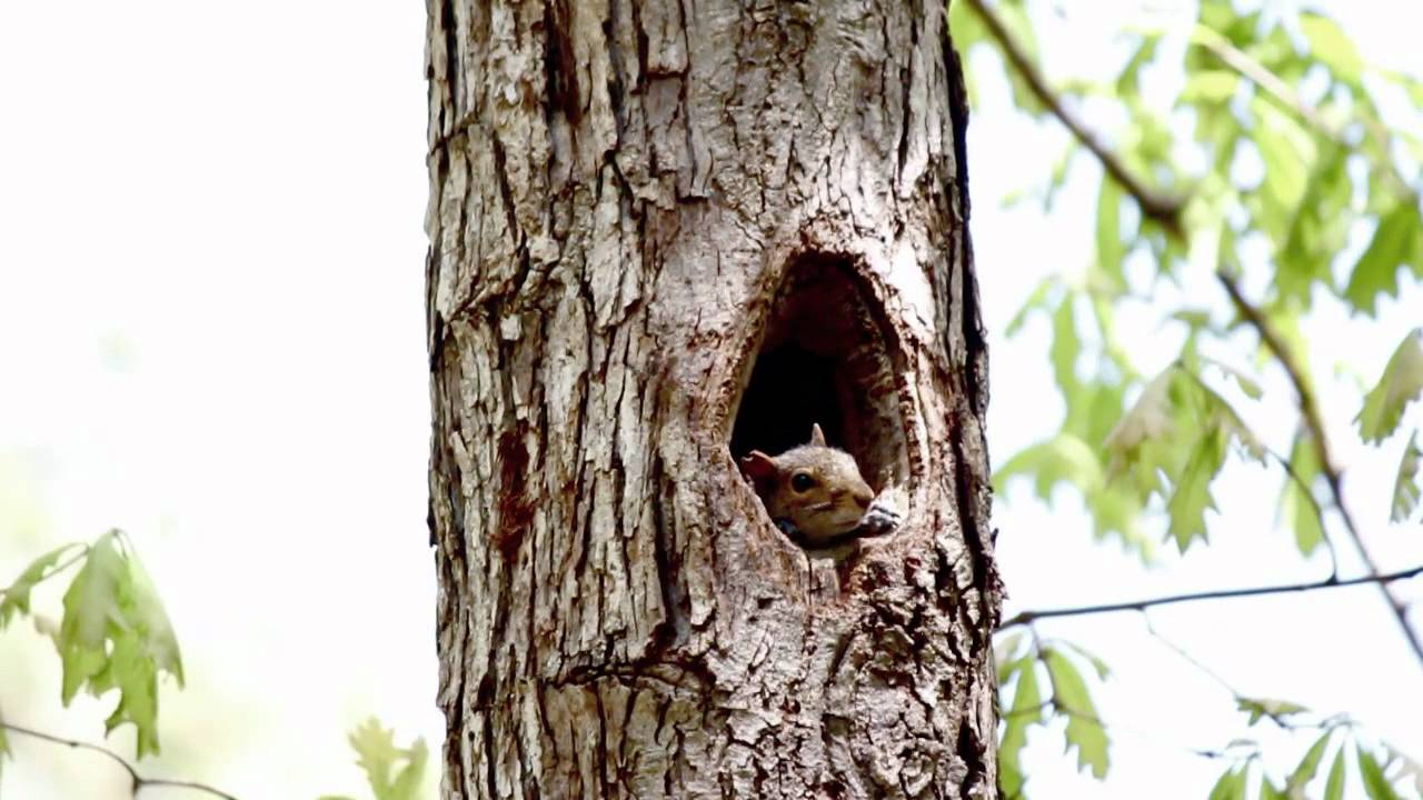 Cute Baby Squirrels Poking Heads Out Of A Oak Tree Hole ...