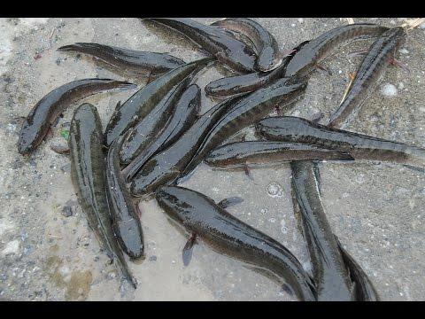 FIN frog # ตกปลาช่อนในนาข้าว ฟิน มากก