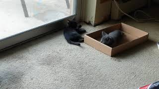 8 week old Russian Blue and kittens first day in their new home
