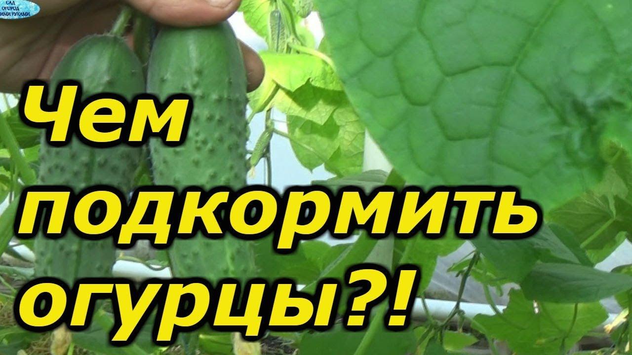Важная подкормка огурцов в плодоношении. Внимательно читайте описание к подкормкам!