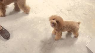 Amber Toy Poodle - Husky, Amber, Marshee, Brownie & Xiaoxue