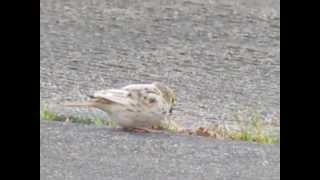 Savannah Sparrow (leucistic)