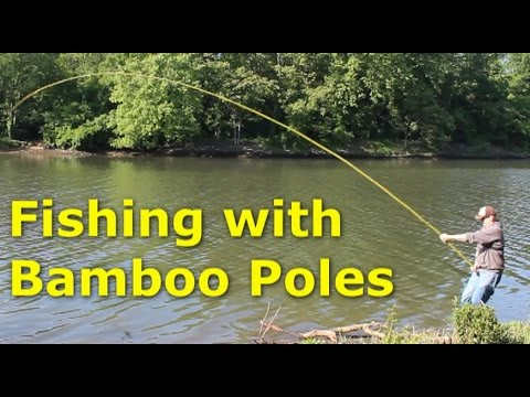 Fishing with 30' bamboo poles - pole fishing for carp