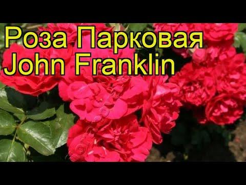 Роза парковая Джон Фраклин. Краткий обзор, описание характеристик, где купить саженцы John Franklin