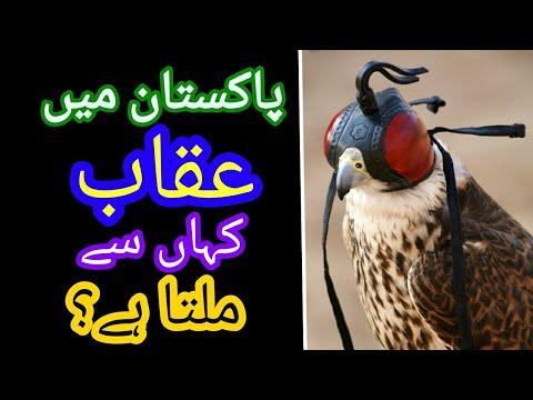 Falcon Eagle In Pakistan L Migratory Falcons In Pakistan L Falconers In Pakistan L Falconry In Pk