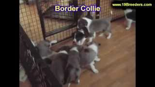 Border Collie, Puppies, For, Sale, in, Mobile, County, Alabama, AL, Huntsville, Morgan, Calhoun, Eto