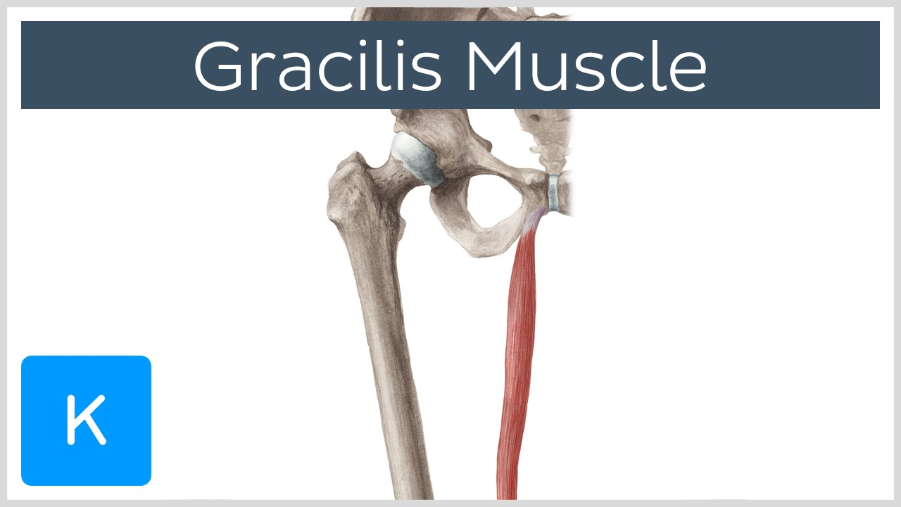 Gracilis Muscle - Function & Origins - Human Anatomy | Kenhub - YouTube