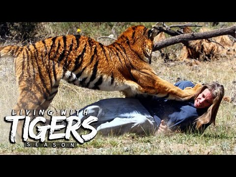 You Won't Believe What We Do With Tigers   LIVING WITH TIGERS SEASON