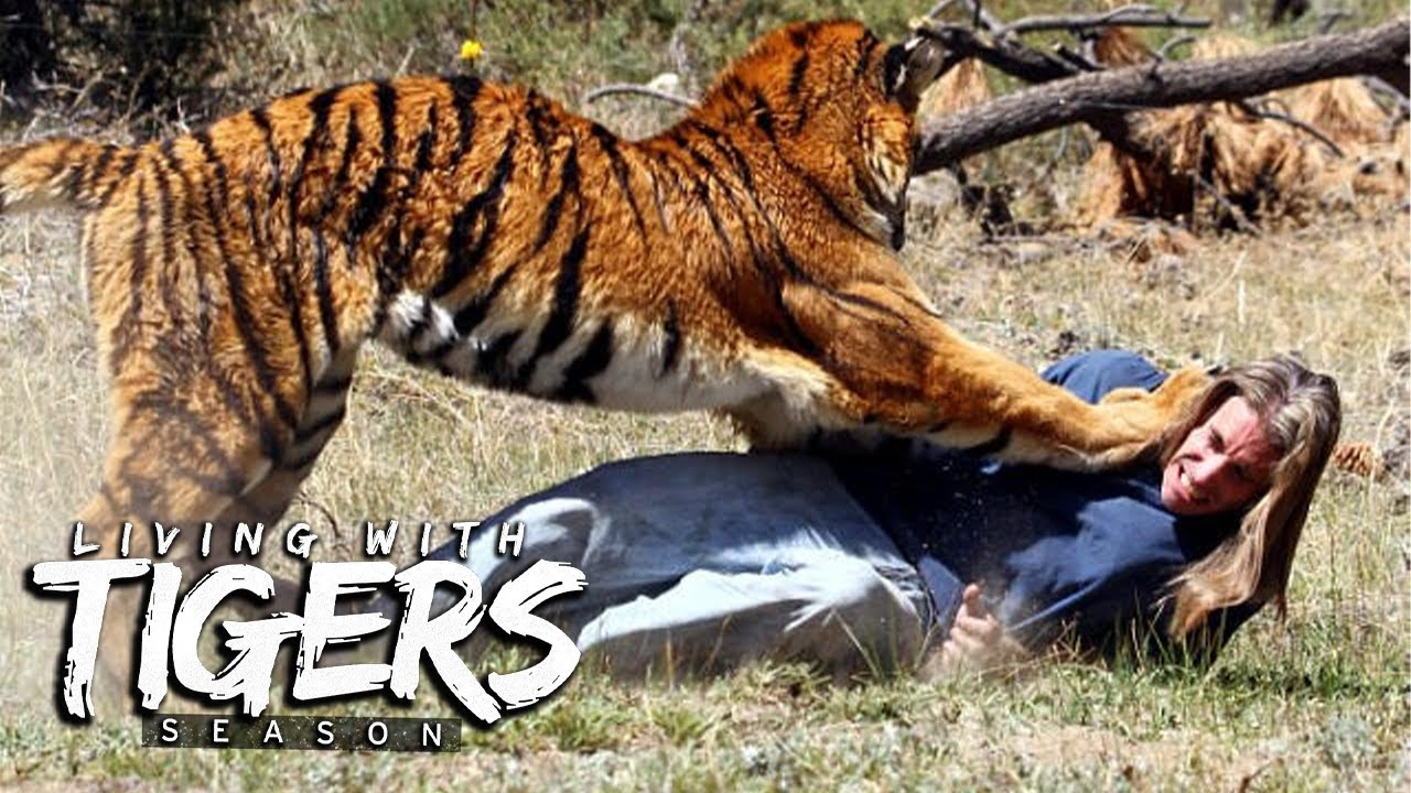 You Won't Believe What We Do With Tigers | LIVING WITH TIGERS SEASON