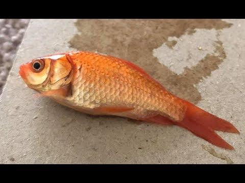 Reviving A Feeder Goldfish.