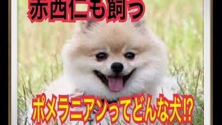 ペットで犬を飼おうと迷っている方へ〜ポメラニアン〜 世の中には様々な...