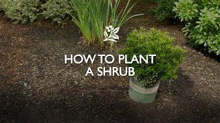 How to Plant a Shrub   Monrovia Garden thumbnail