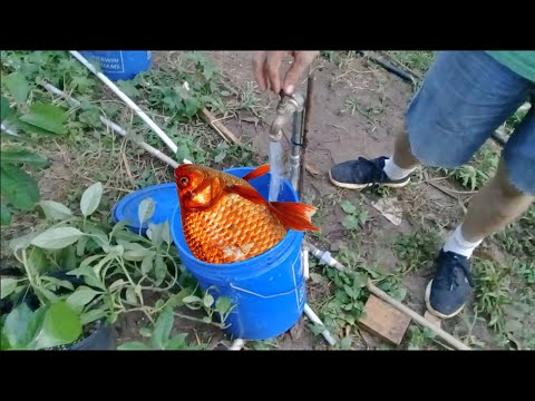 How To Make Fish Fertilizer (in One Minute!)