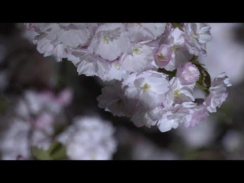 شاهد: الكرز في اليابان.. حاضرة عبقٍ ونور وموسيقى  - 07:00-2019 / 4 / 16