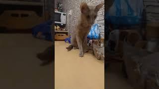 Котики  ориенталы. Больше ни один кот в мире так не умеет!