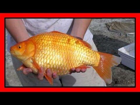La piscina dei pesci rossi by fabrizio arnold for Pesci finti per piscina