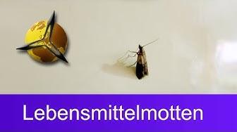 Lebensmittelmotten bekämpfen: Motten in der Küche loswerden