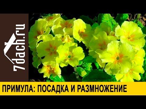 Примула: посадка и размножение делением куста - 7 дач