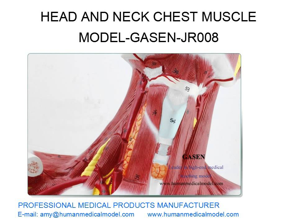 INVASIVE COSMETIC FACIAL PLASTIC SURGERY MODEL HEAD AND NECK CHEST ...