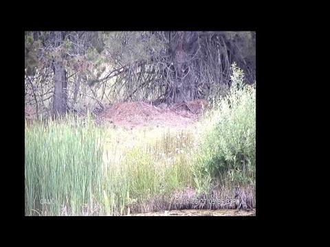 Sunriver Nature Center Trumpeter Swan Nest Live Stream