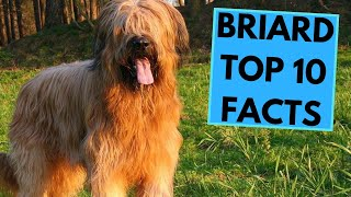 Briard  TOP 10 Interesting Facts