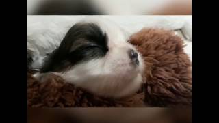 2017 1st One Month of Life (Shih Tzu)